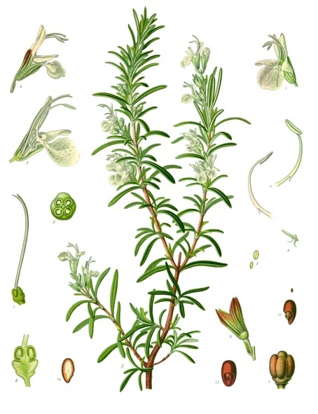 Rosemary Shortbread - Rosemary Plant, Seeds, Blossoms