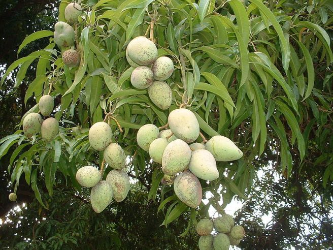 Mystery Plant - Mangoes