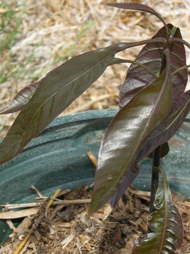 Mystery Plant: The Story Continues - Mango Seedling