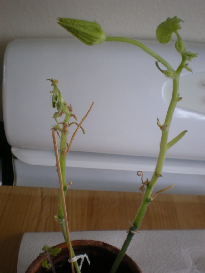 Mystery Plant; The Story Continues - Mango Seedling?