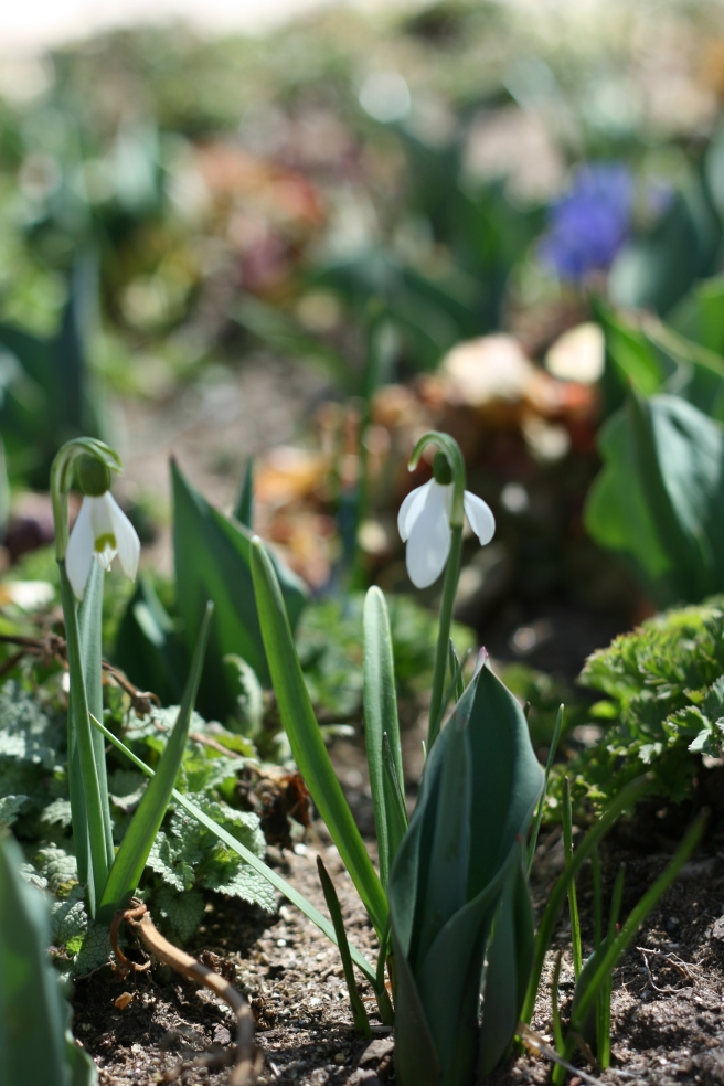 Spring is in the Air - Snowdrops