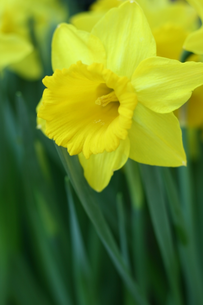 Spring is in the Air - Daffodils