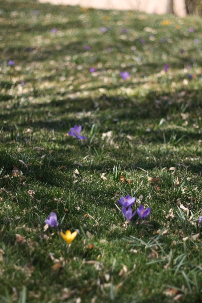 Spring is in the Air - Meadow with Crocus