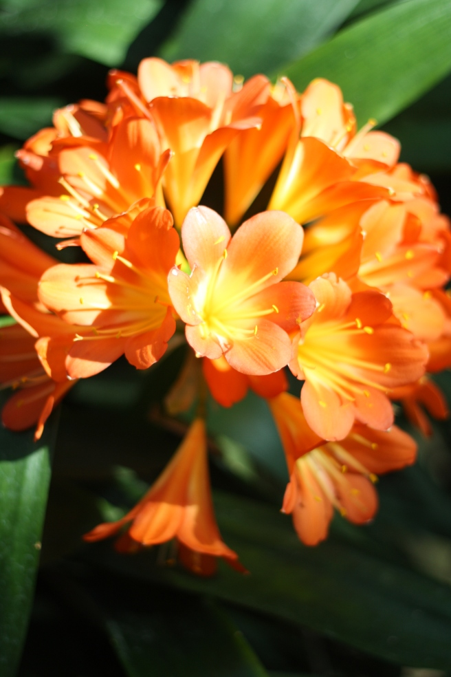 Spring is in the Air - Clivia