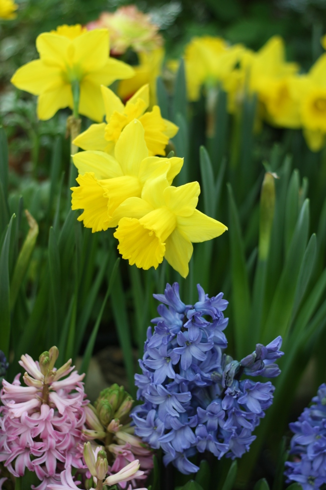 Spring is in the Air - Daffodils and Hyacinths