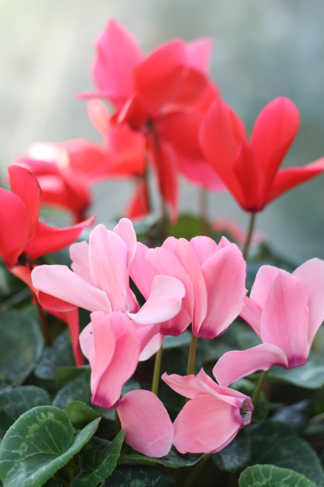Spring is in the Air - Cyclamen
