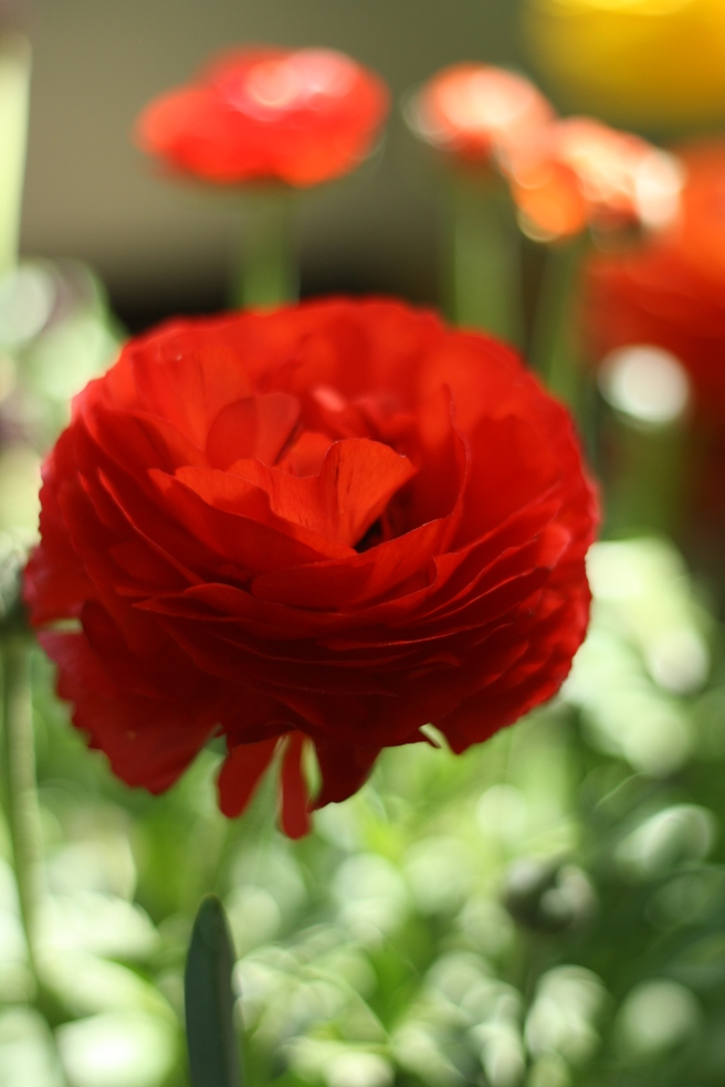 Spring is in the Air - Ranunculus