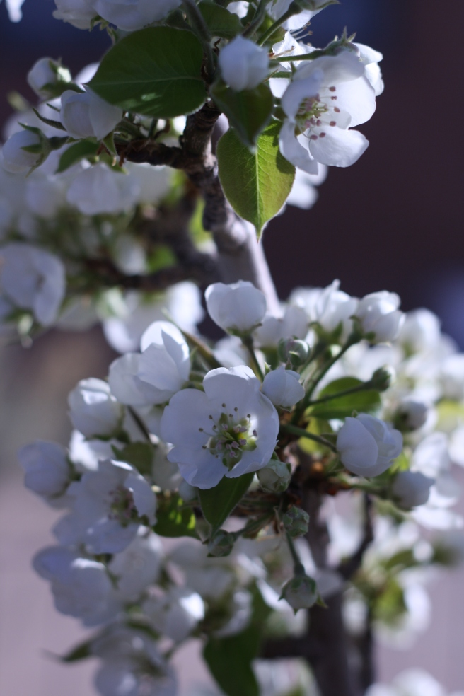 Spring is in the Air - Pear Blossoms