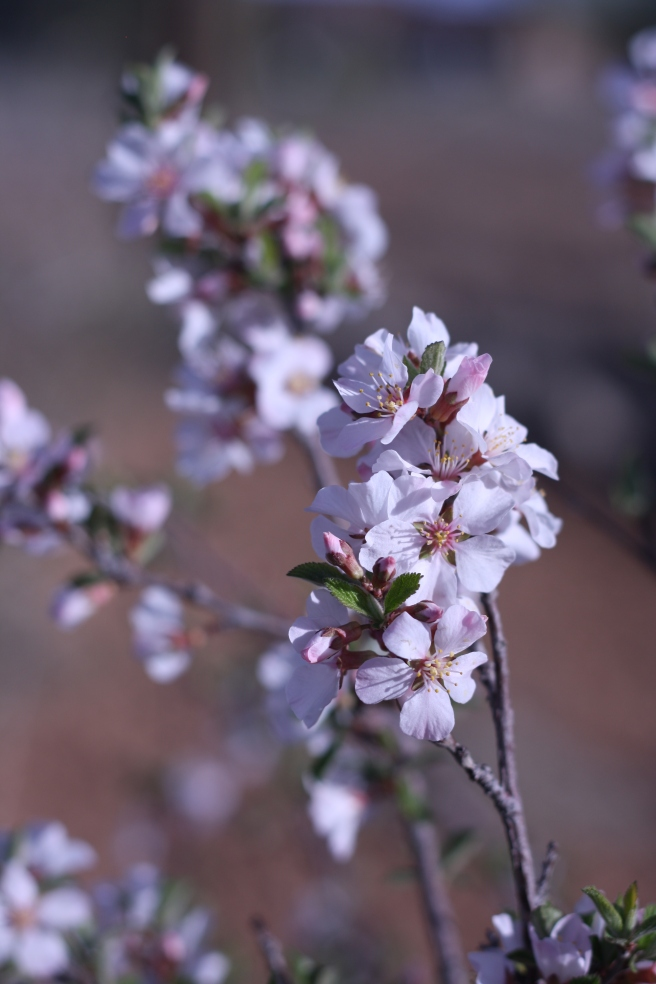 Spring is in the Air - Plum Blossoms