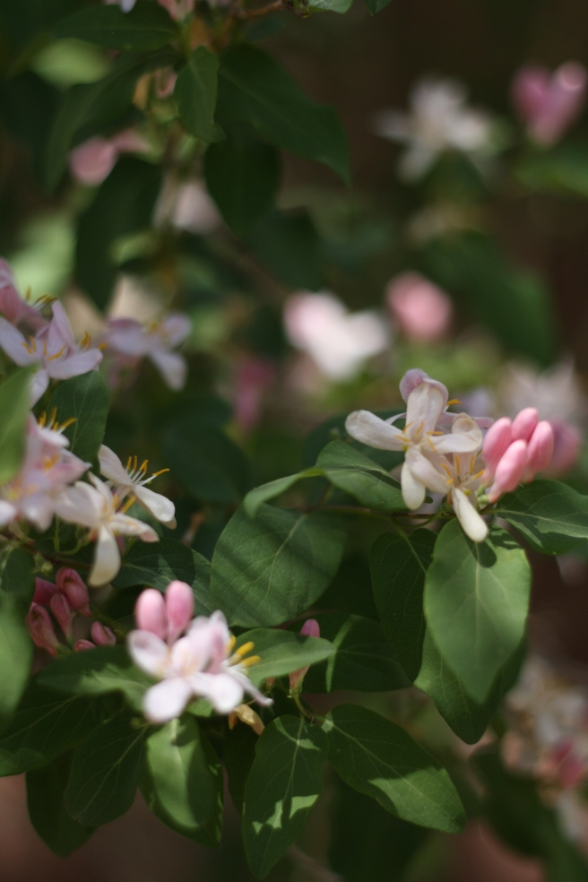 Happy Mother's Day - Eastern Honeysuckle