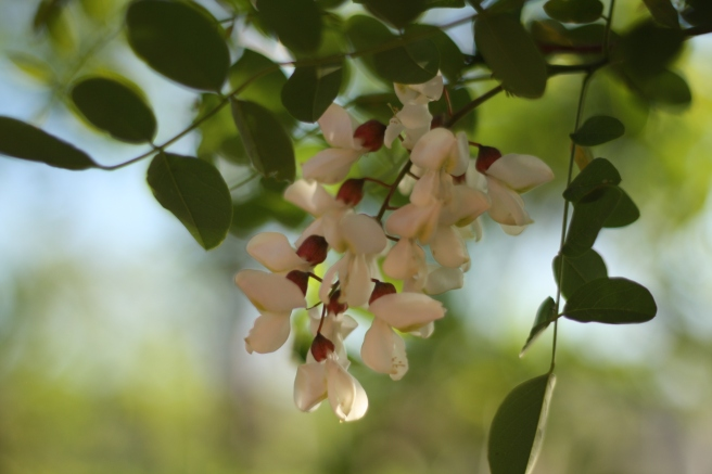 Happy Mother's Day - Black Locust Blossoms