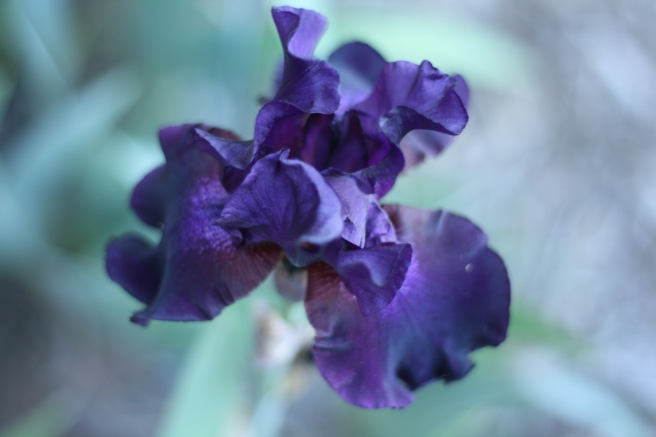 Happy Mother's Day - Fragrant Purple Iris