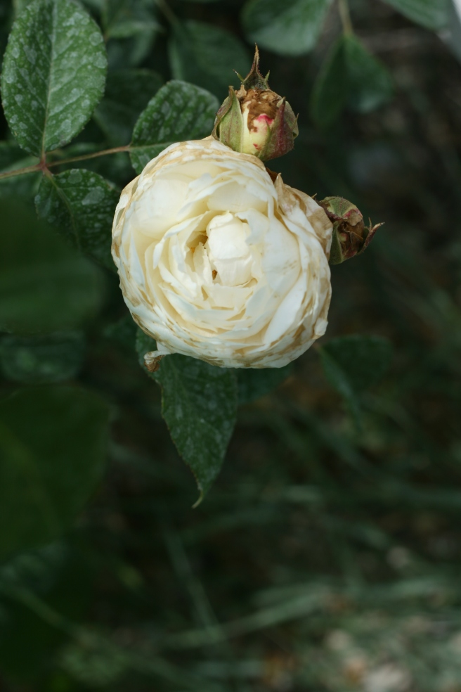 New Mexico in Bloom - English Rose