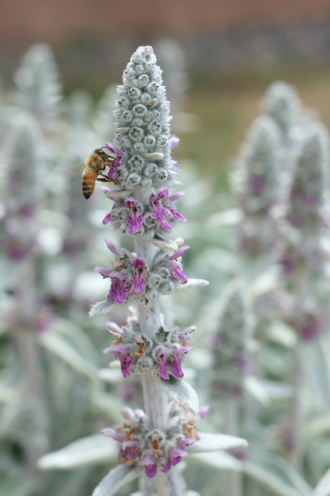 New Mexico in Bloom - Lamb's Ear Flowers with Honeybees