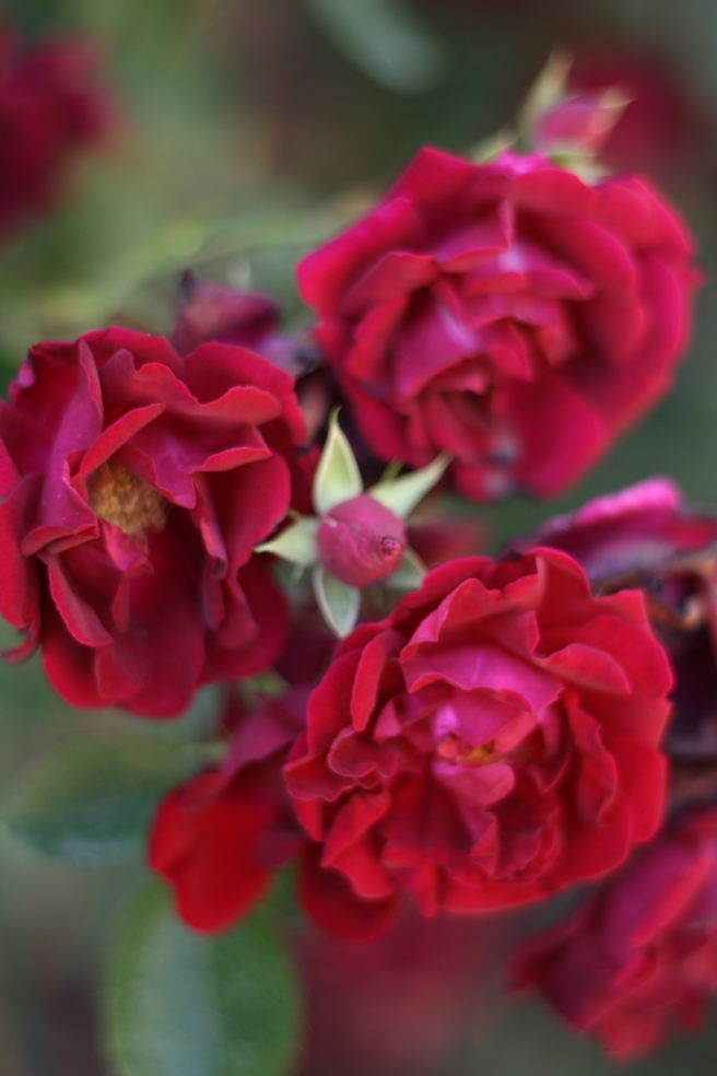 New Mexico in Bloom - Red Climbing Roses