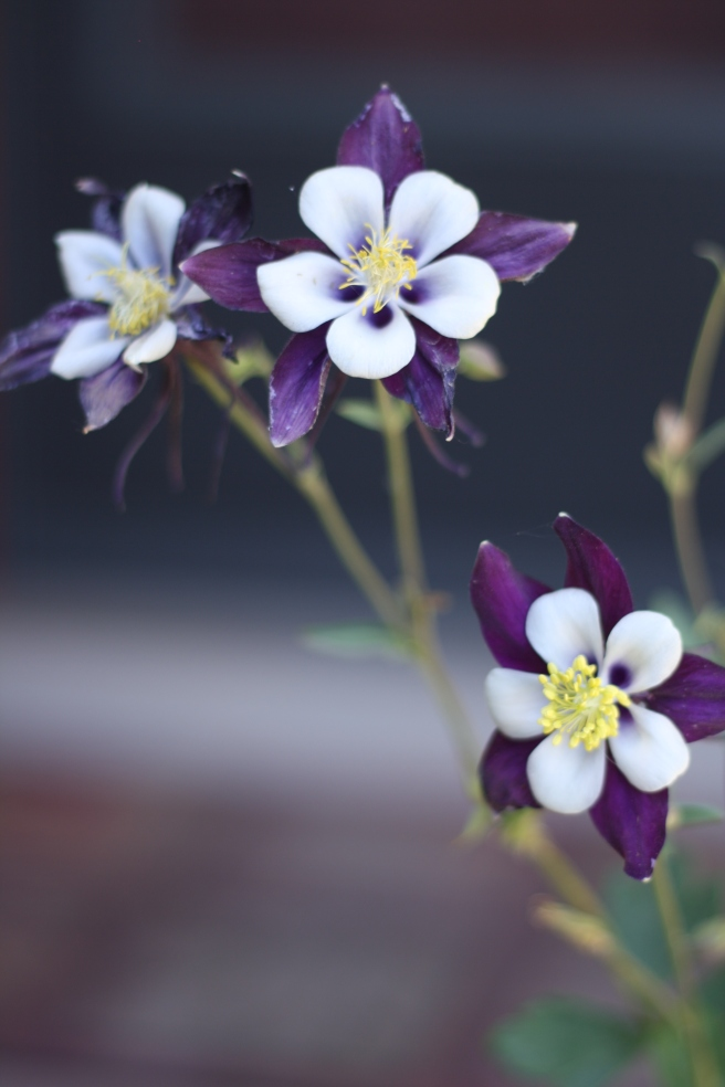New Mexico in Bloom - Columbine Flowers