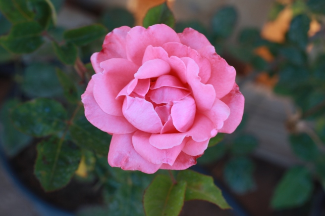 New  Mexico in Bloom - Queen Elizabeth Rose