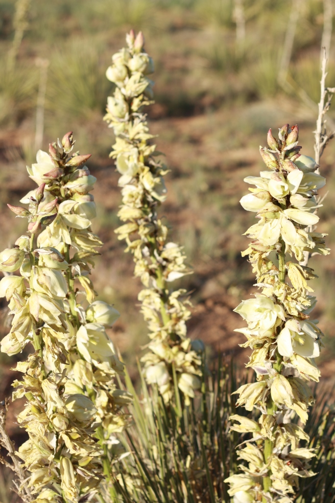 New Mexico in Bloom - Yucca Blossoms