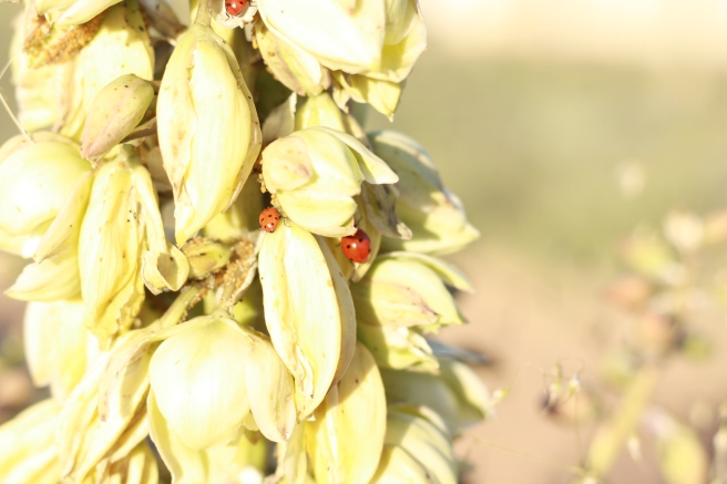 New Mexico in Bloom - Yucca Blossoms with Ladybugs
