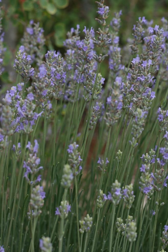 Lavender Lemonade - Lavender Blossoms